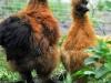 Fejl i farve. Rød hane med sort hale og top. Gul høne med sorte fjer i top.