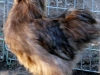 Rooster-2014-09-02-1