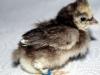 Spaendende-kylling-nu-13-dage-klaekket-17-03-2015-2.jpg