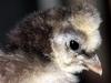 Spaendende-kylling-nu-13-dage-klaekket-17-03-2015-7.jpg