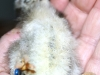 Spaendende-kylling-nu-13-dage-klaekket-17-03-2015-9.jpg