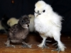 chocolate-bantam-paint-large-fowl-1-week-old