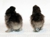 large-and-bantam-choc-hatched-2015-01-30-3