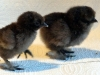 large-and-bantam-choc-hatched-2015-01-30-4