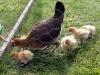 medk-og-kyllinger-1