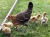 medk-og-kyllinger-2