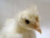 F2-kylling-2017-10-15-2