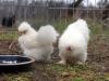 hane-og-hoene-2013-kyllinger-1