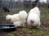 hane-og-hoene-2013-kyllinger-2