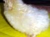 Hvid siamesisk dværgsilkekylling - daggammel - klækket 18. juni 2013