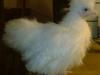 Siamesisk hønekylling 2012. For lys.