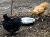 sort-hane-dvaerg-og-stor-gul-maaske-hane-2014-10-24-1