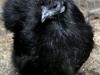 Sort høne fra 2012