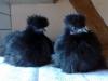 Fem måneder gamle sorte høner. Vejer henholdsvis 445 og 450 gram.
