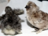 First-hatched-2015-09-13-two-days-old-2015-09-15-2