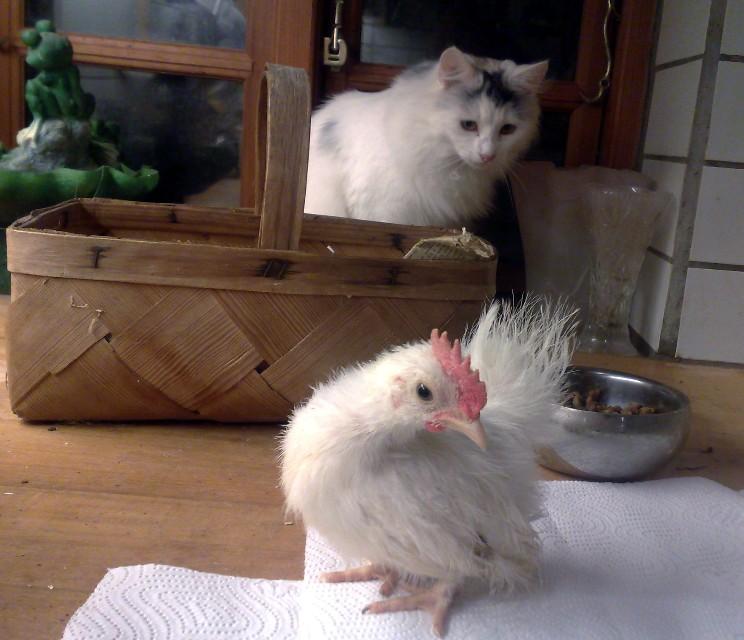 kylling-og-trixie